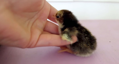 Newborn Baby Chick Just Wants to Be Held