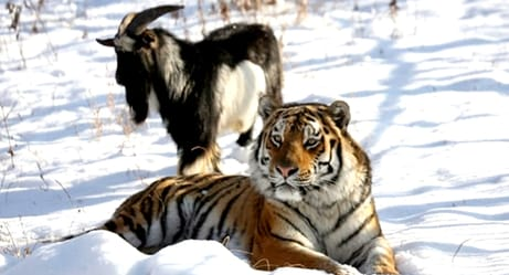 Live Goat Given to Tiger as Lunch, Ends Up Becoming Best Friend
