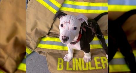 A Pit Bull Saved From a Fire Becomes An Actual Firefighter