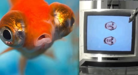 These Fish Are Spitting On Human Faces, And The Reason Why Is Extraordinary