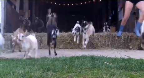 Look Out! This Baby Goat Stampede is Dangerously Adorable