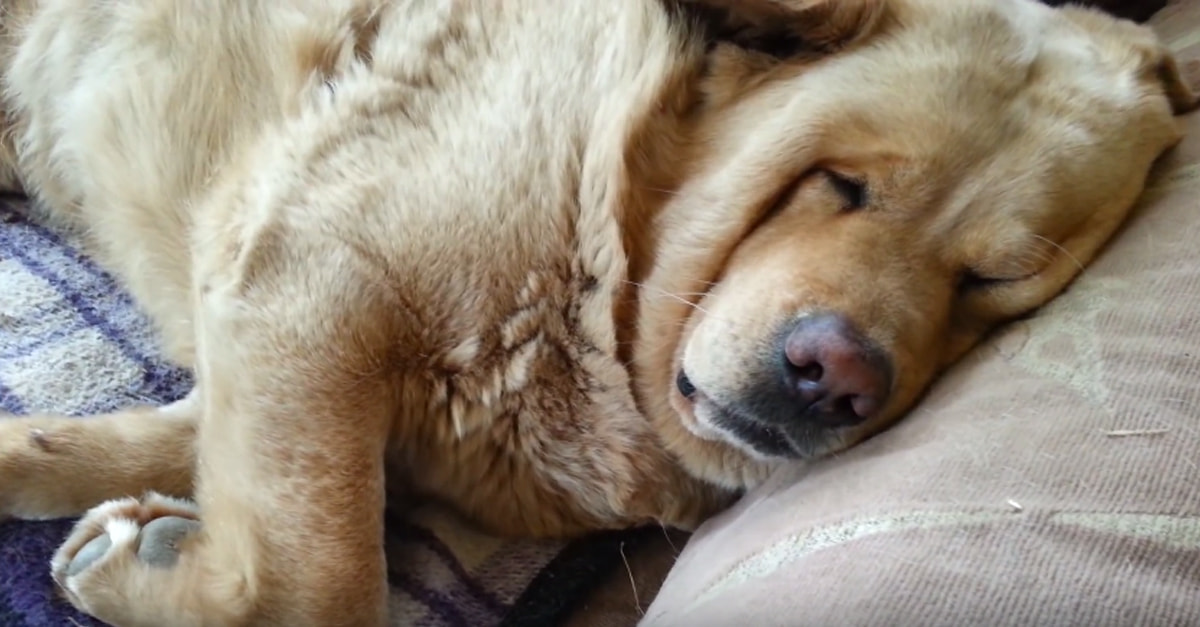 You Wouldn't Kick This Dog Out Of Bed For Snoring, Would You?