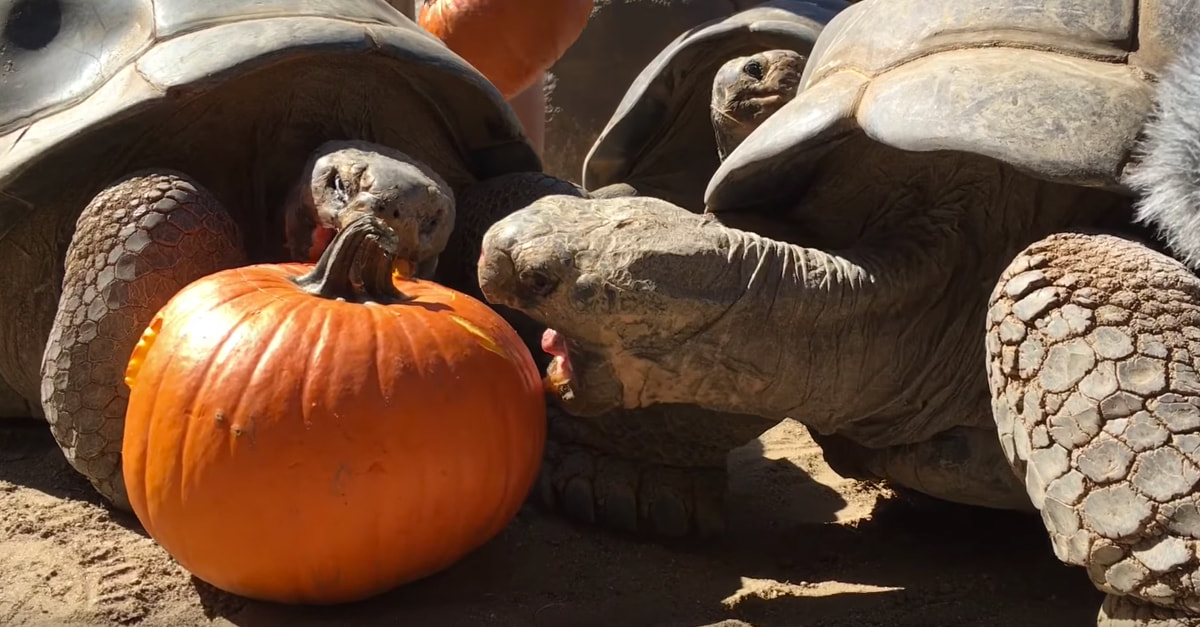 Let's Celebrate Fall By Watching Tortoises Munch On Pumpkins