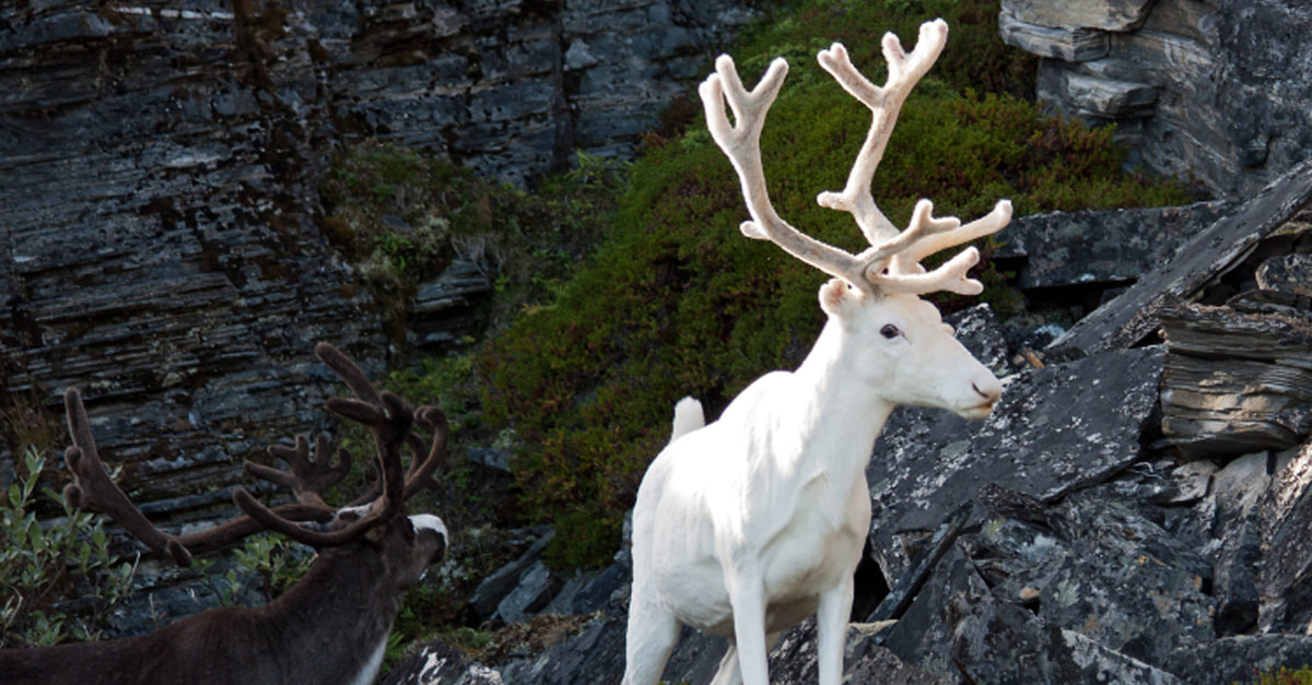 This Magically Rare White Reindeer Was Spotted On The Side Of The Road