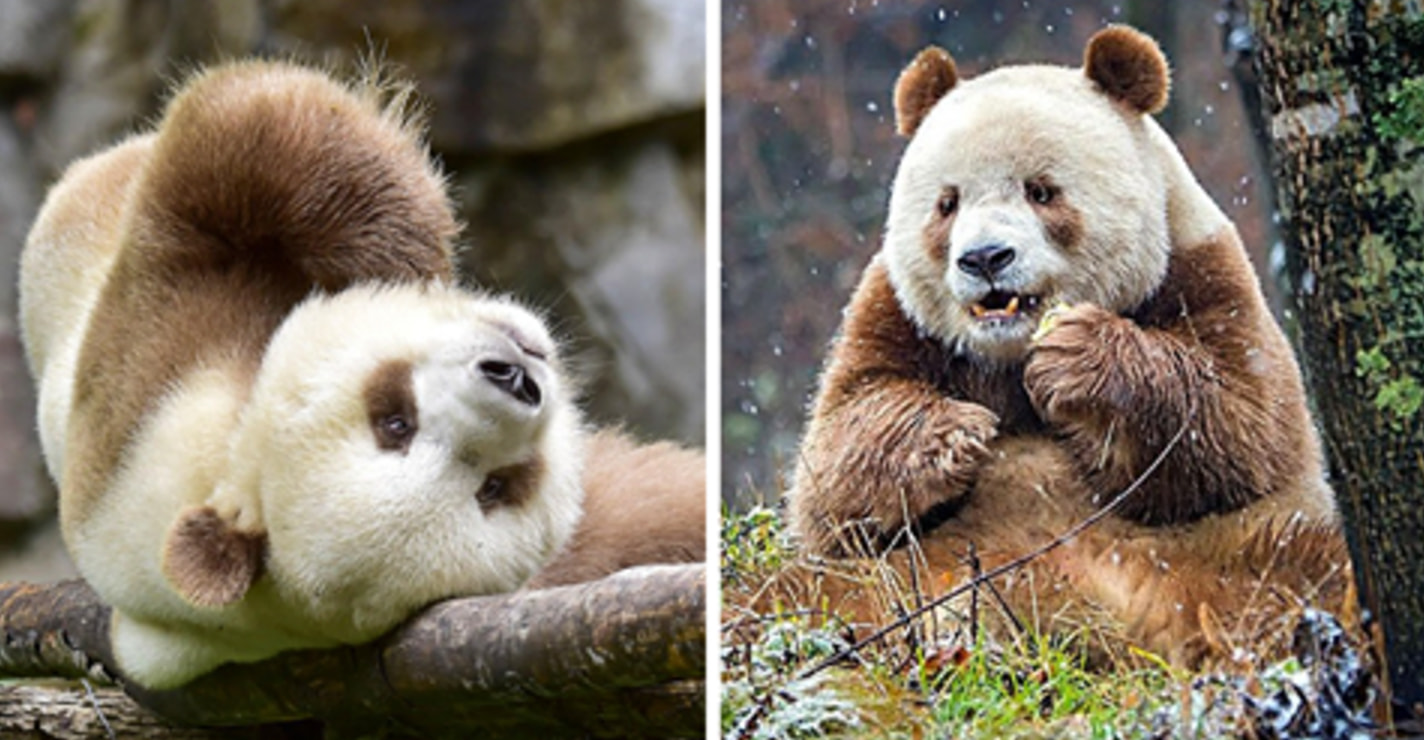 After Being Abandoned As A Baby, The World's Only Brown Panda Has Finally Found Happiness