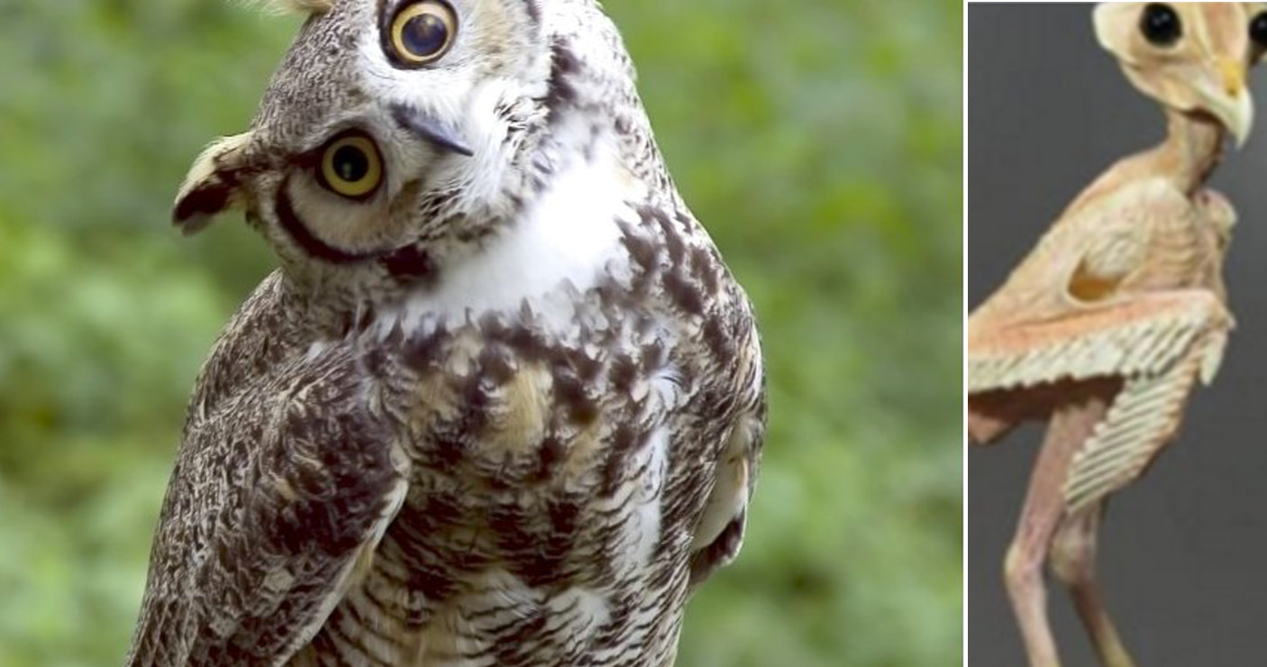 What does an owl look like without feathers for What owls look like without feathers