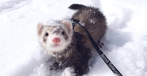 Adorable Ferrets Play in the Snow for the First Time