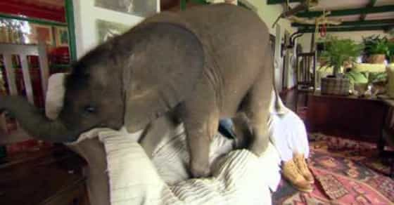Adopted Baby Elephant Adorably Wreaks Havoc At Home!