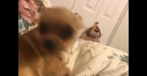 Adorable Chihuahua Responds to Owner's Question 'Are You Mad at Me?'