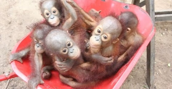 The World's Cutest 'Pre-School' Helps Save Orphaned Baby Orangutans