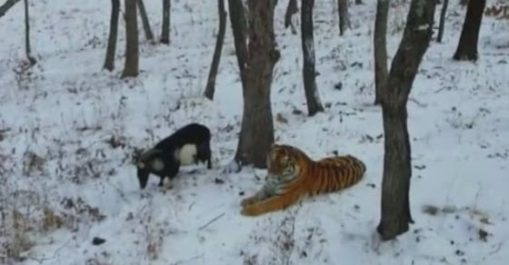 Friendship Goals. Tiger's Intended Lunch Turns Into a Friend?