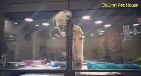 Kitten Escapes Pet Store Cage to Play With Puppy Friend