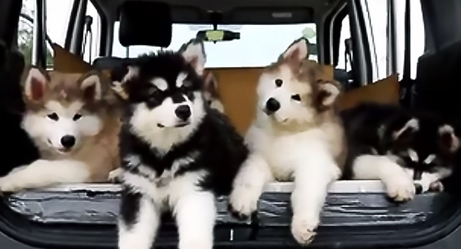 Alaskan Malamute Puppies Pack Confused by Different Music