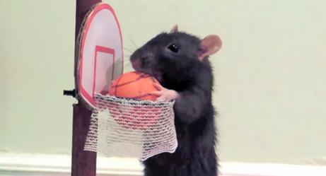Watch Woman Train Pet Rat Tricks With Positive Reenforcement
