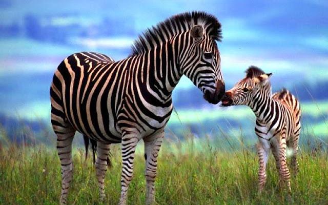 animals of africa and their babies giraffe akon