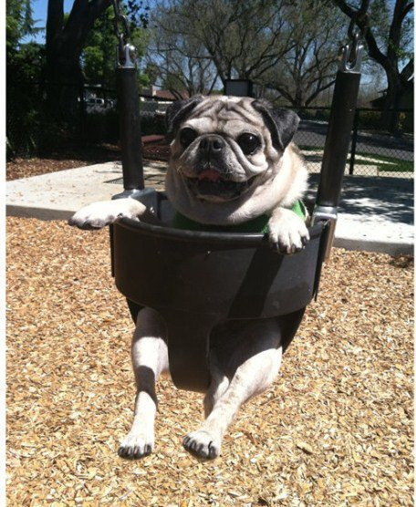 A baa dog in a swing
