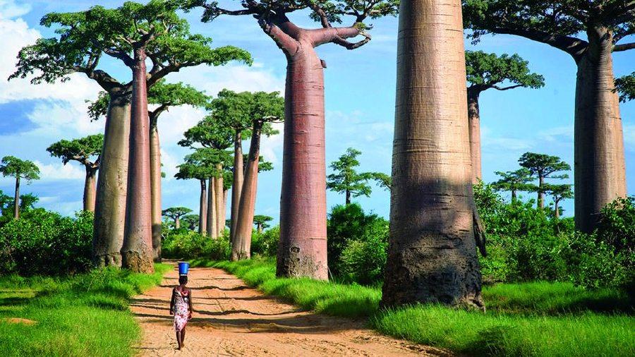 Kết quả hình ảnh cho avenue of the baobabs