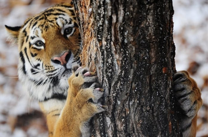 The friendship between this tiger and goat is baffling a ...