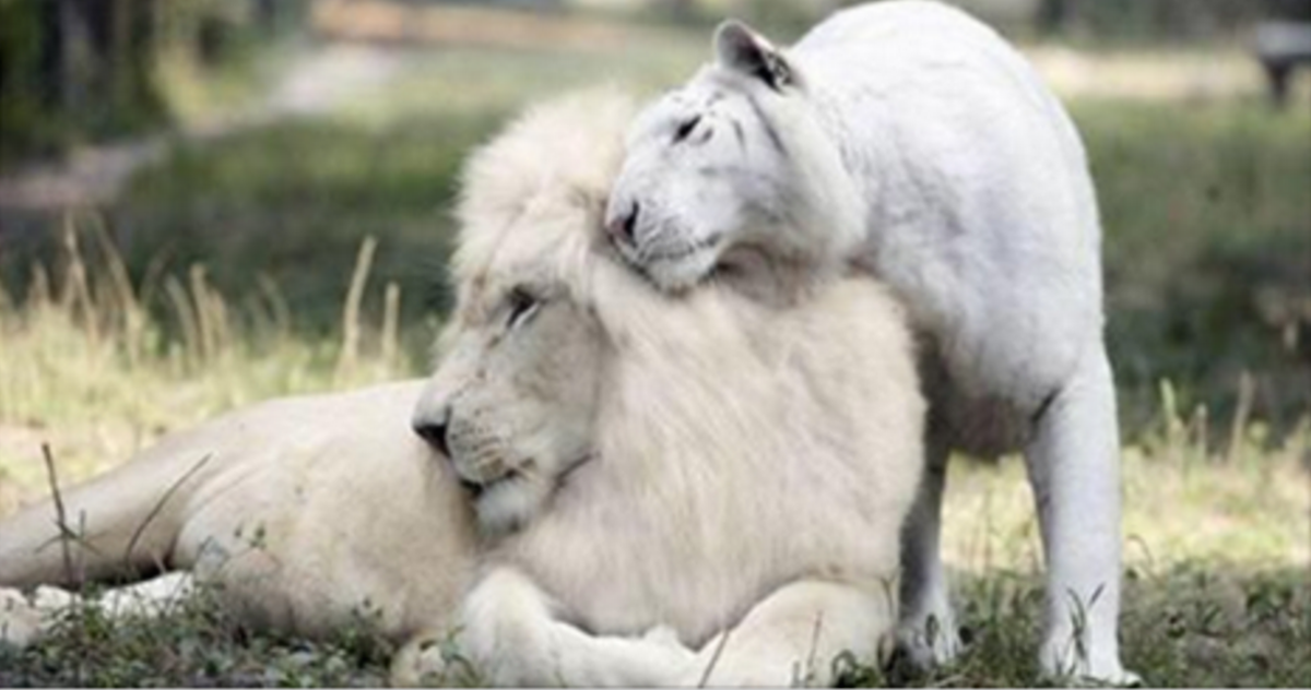 A White Lion And A White Tiger Had Babies, And They're Absolutely Breathtaking