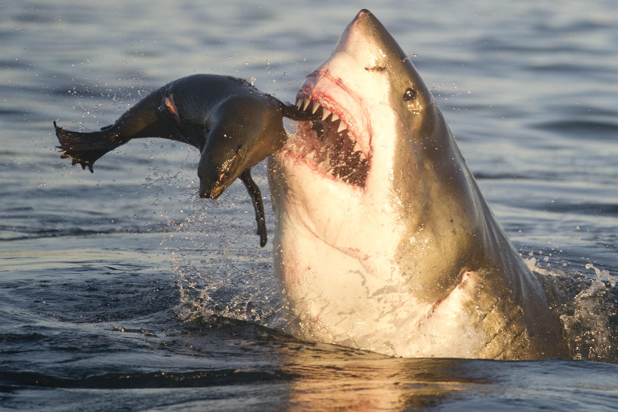 There's A Real Reason No Aquarium Has A Great White Shark ...