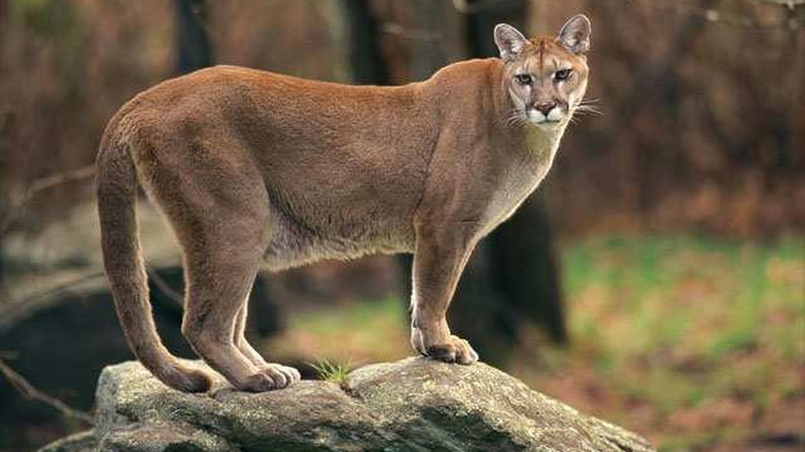 Here 39 S How Buying A Mountain Lion Could Lower Your Car